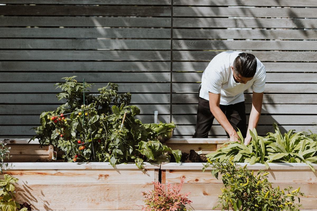 Man in white shirt tending to outdoor vegetable garden. Photo by Priscilla du Preez via Unsplash.
