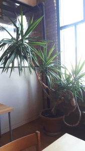 Yucca Tree on second floor of Annex office